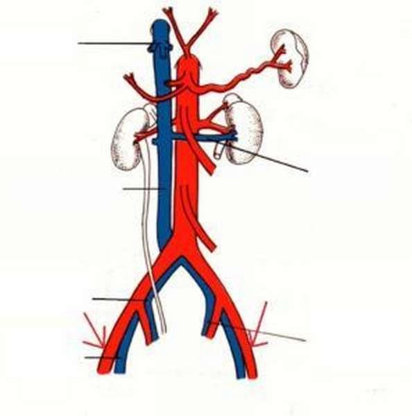 наружные семенные артерии