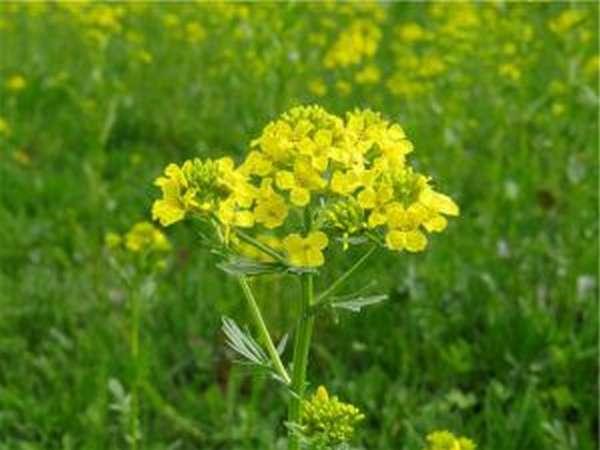 Трава сурепка увеличивает количество и качество семенной жидкости