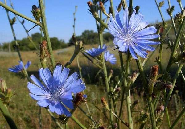 цветки цикория