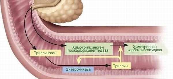 Роль поджелудочного сока в пищеварении