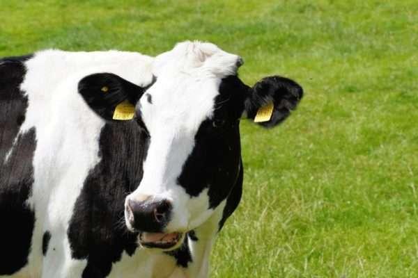 Коровья оспа на руках thumbnail