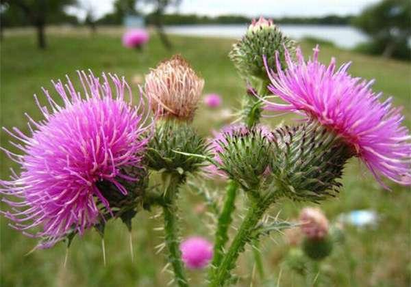 цветки растения чертополох